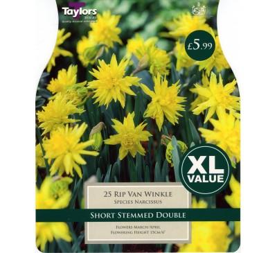 Xl Narcissi Rip Van Winkle