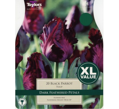 Xl Tulip Black Parrot