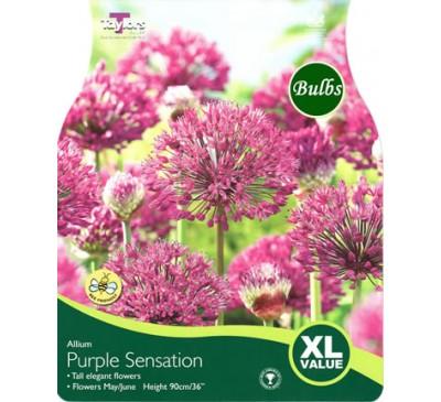 Xl Allium Purple Sensation