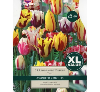 Xl Tulip Rembrandt Mixture