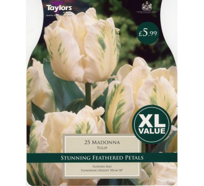 Xl Tulip Madonna