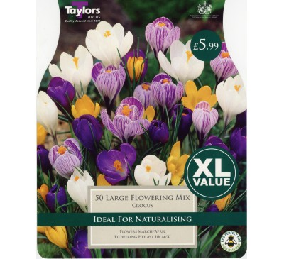 Xl Crocus Large Flowering