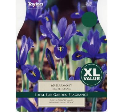 Xl Iris Dwarf Harmony