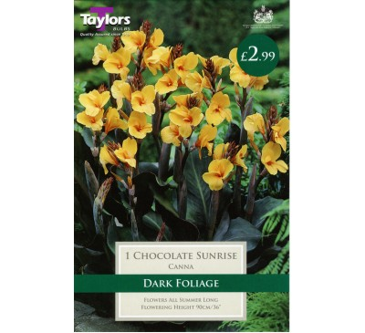 Chocolate Sunrise Canna