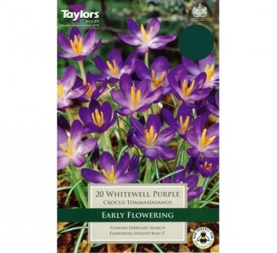 Crocus Whitewell Purple