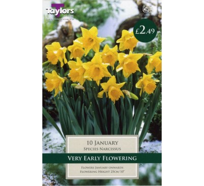 Narcissi January
