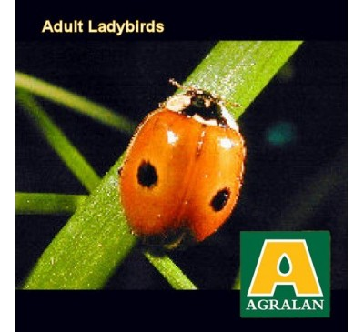 Aphids Control With Adult Ladybirds