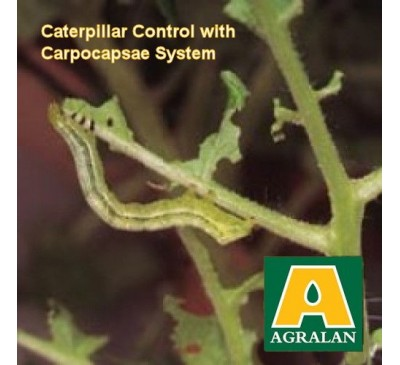 Caterpillars and Cutworms Control Steinernema Carpocsae