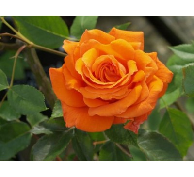Climbing Rose Bright Fire