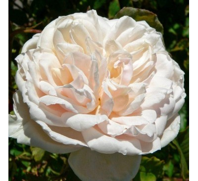 Climbing Rose Madame A Carriere