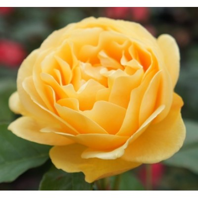 Floribunda Rose Absolutely Fabulous