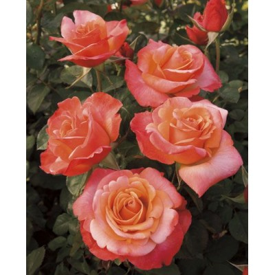 Floribunda Rose Good News 95