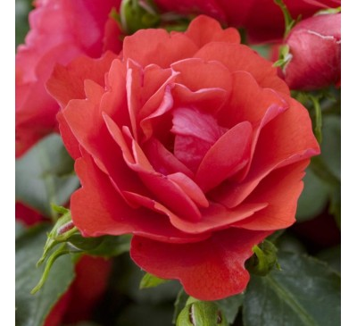 Floribunda Rose Moment In Time