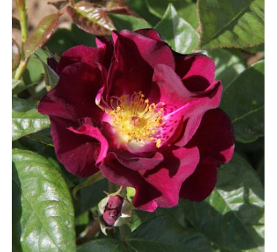 Floribunda Rose Night Owl