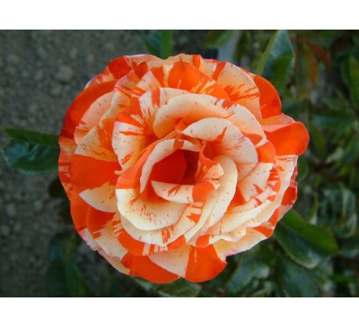 Floribunda Rose Oranges And Lemons