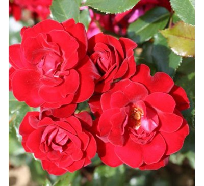 Floribunda Rose Ruby Celebration