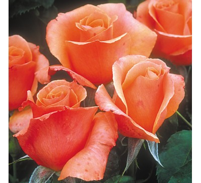 Floribunda Rose Sunset Boulevard