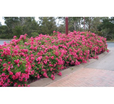 Ground Cover Rose Pink Flower Carpet