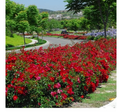 Ground Cover Rose Red Flower Carpet