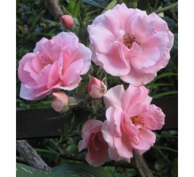 Ground Cover Rose Rutland