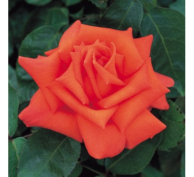Hybrid Tea Rose Cheshire Life