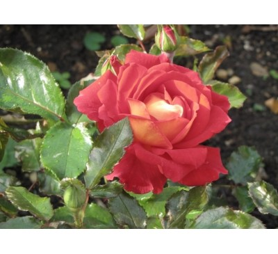 Hybrid Tea Rose Curiosity
