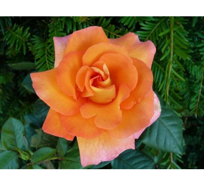Hybrid Tea Rose Dawn Chorus