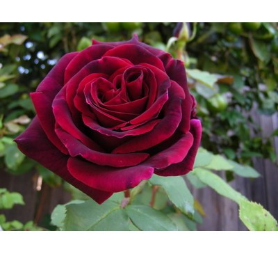 Hybrid Tea Rose Deep Secret