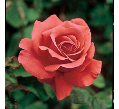 Hybrid Tea Rose Fragrant Cloud