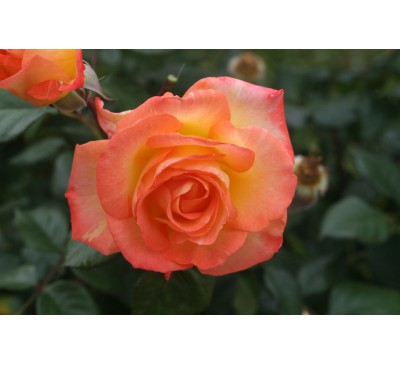 Hybrid Tea Rose Garden News