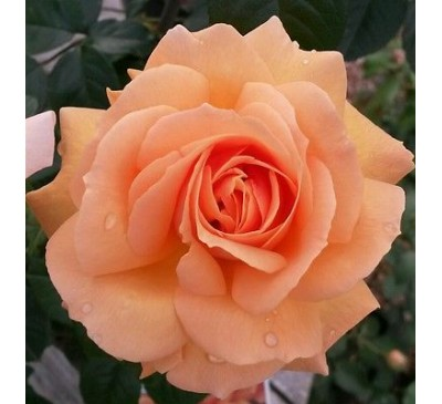 Hybrid Tea Rose Indian Summer