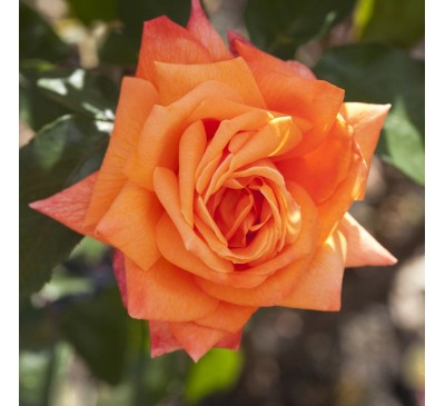 Hybrid Tea Rose Lovers Meeting
