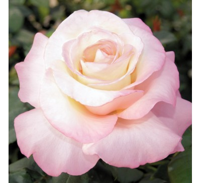 Hybrid Tea Rose Luberon
