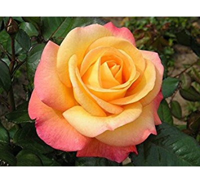 Hybrid Tea Rose Our Jubilee