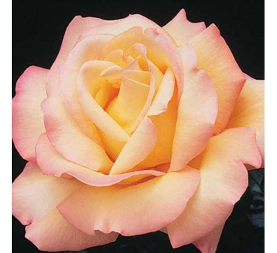 Hybrid Tea Rose Peace