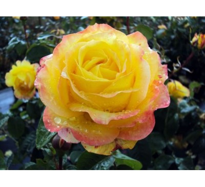 Hybrid Tea Rose Peer Gynt