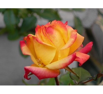 Hybrid Tea Rose Piccadilly