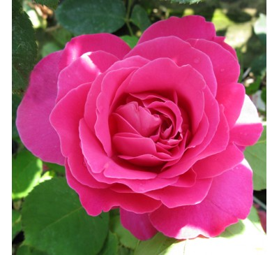 Hybrid Tea Rose Pink Peace