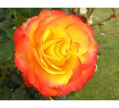 Hybrid Tea Rose Tequila Sunrise
