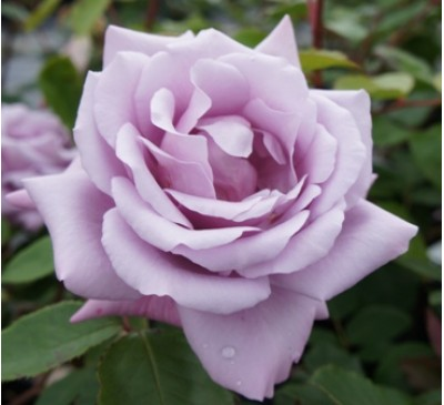 Hybrid Tea Rose Twice in a Blue Moon