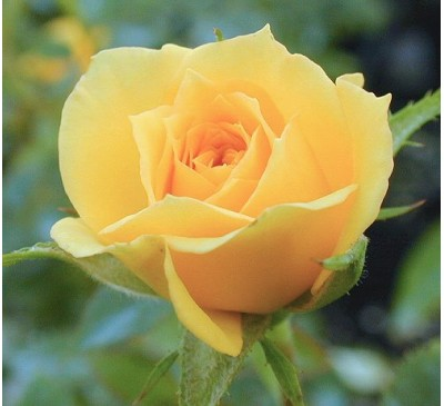Miniature Rose New Yellow