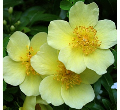 Shrub Rose Canary Bird