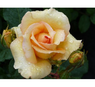 Shrub Rose Sophia