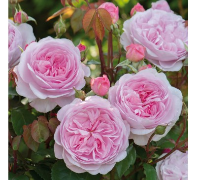 Shrub Rose The Reformation Rose