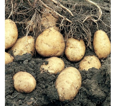Arran Pilot 2 kg Seed Potatoes