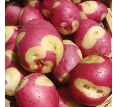 Apache 2 kg Seed Potatoes