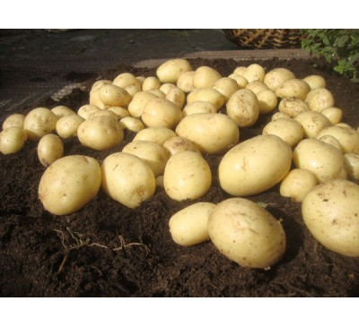 Casablanca 2 kg Seed Potatoes