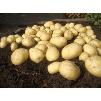 Casablanca 2 kg Seed Potatoes