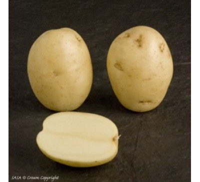 Maris Peer 2 kg Seed Potatoes