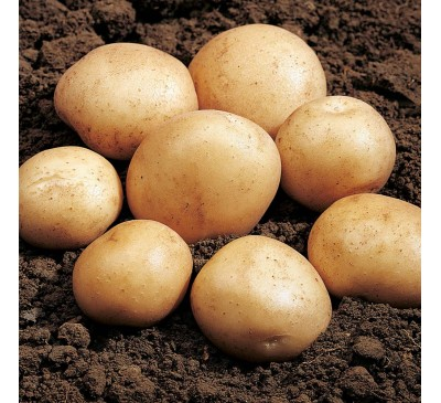Rocket 2 kg Seed Potatoes
